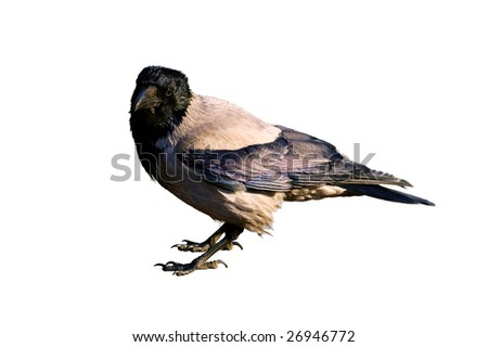 gray crow looking in camera isolated on white with clipping path