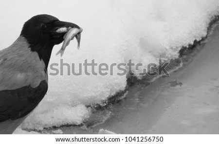 gray crow with fish in its beak. Ice fishing on the lake. black and white photo