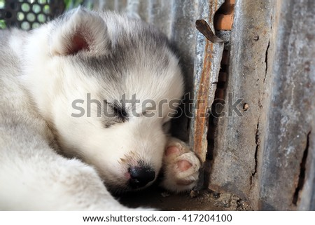 Gray Cute Puppy Siberian Husky Dog sleeping. Close-up portrait. - stock photo