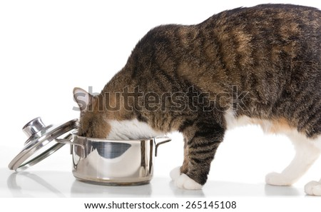 Gray,domestic cat steals food from the pot,  on white background - stock photo