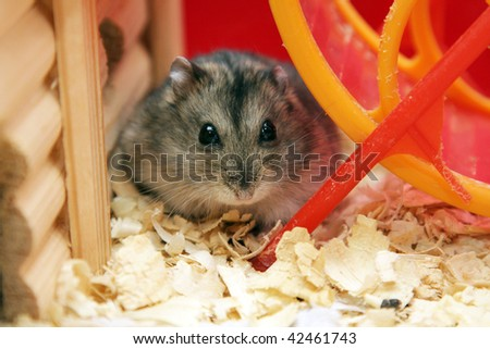 gray dwarf hamster phodopus looks into the lens