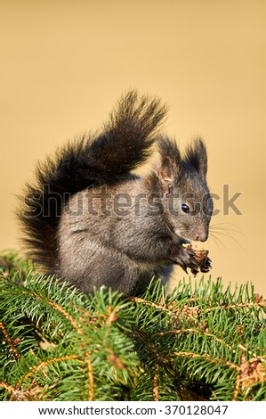Gray eurasian squirrel sitting on the green conifer's branch holding walnut in hands and eating