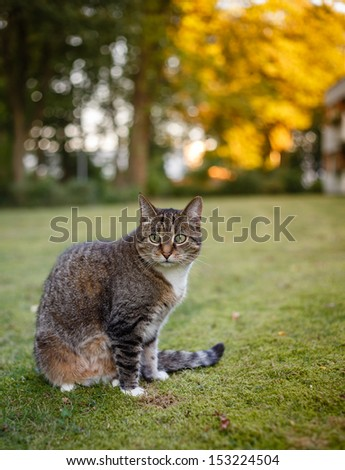 Gray female cat sitting on meadow and watching her area,nice evening bokeh