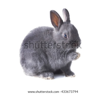 Gray fluffy dwarf rabbit sits with a raised paw,  isolated on white background