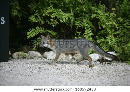 Gray fox, Urocyon cinereoargenteus, single mammal in Belize