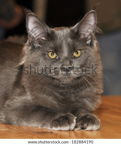 Gray furry siberian cat. - stock photo
