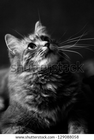 Gray furry siberian cat at home