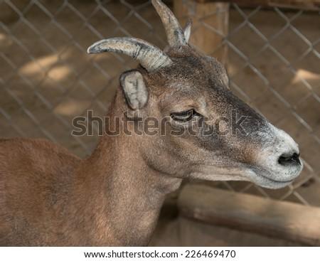 gray goat in the pen - stock photo