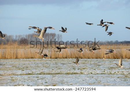 Gray goose - stock photo