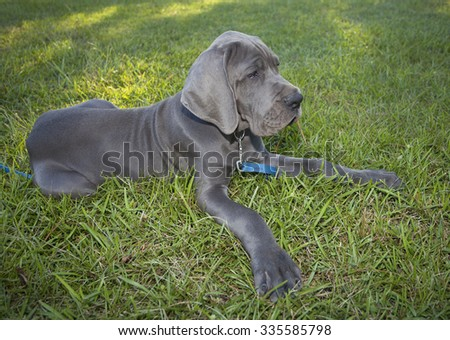 Gray Great Dane puppy laying on the grass chewing on pine straw - stock photo