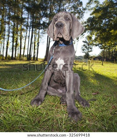 Gray Great Dane puppy that looks tired of sitting - stock photo