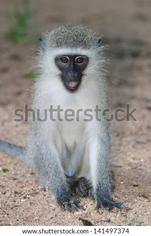 gray-green vervet African bush and savannah south africa kruger