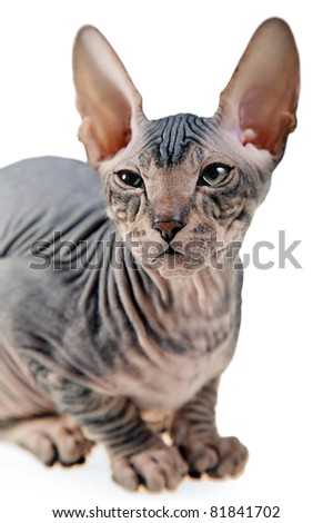 gray hairless kitten isolated on white background - stock photo