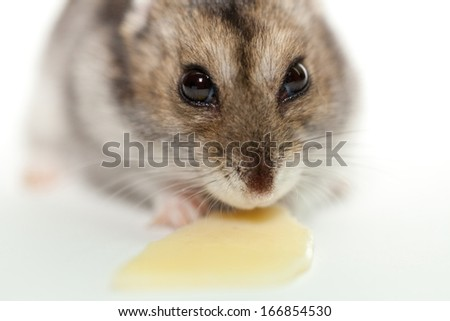 gray hamster eating cheese, photographed on white background - stock photo