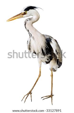 gray heron Ardea cinerea on a white background - stock photo
