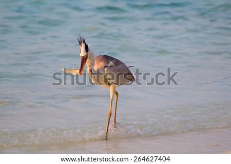 Gray heron fishing at sunset on the beach - stock photo