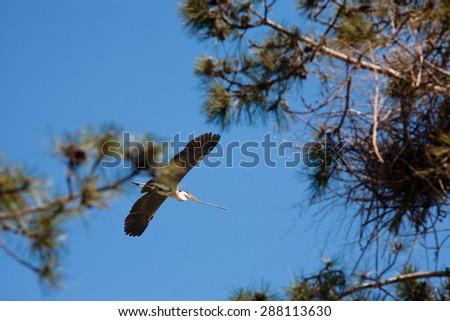 gray heron fly over the tree branches with a stick in its beak - stock photo