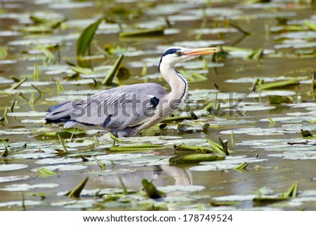 gray heron in flight back to the nest - stock photo