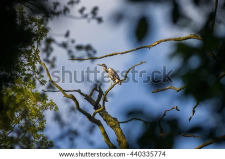 gray heron near nest - stock photo