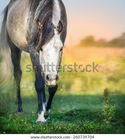 Gray horse on summer sunset pasture, close up - stock photo
