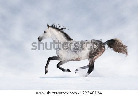 Gray horse running in the snow - stock photo