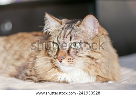 Gray house cat lies on a bed in the sun - stock photo