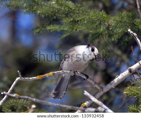 Gray Jay perched on a bare branch - stock photo