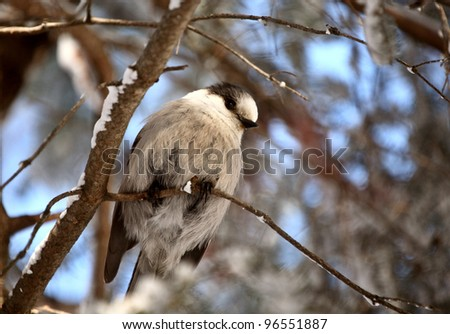 Gray Jay perched on branch