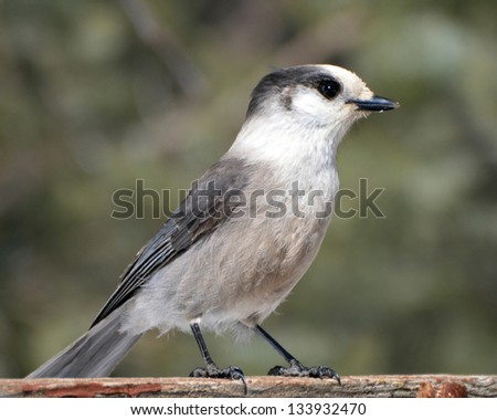 Gray Jay perched on the side of a feeder - stock photo