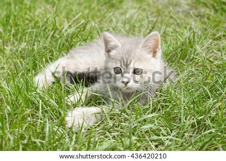 gray kitten - stock photo
