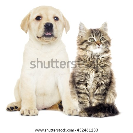 gray kitten and puppy Labrador looking