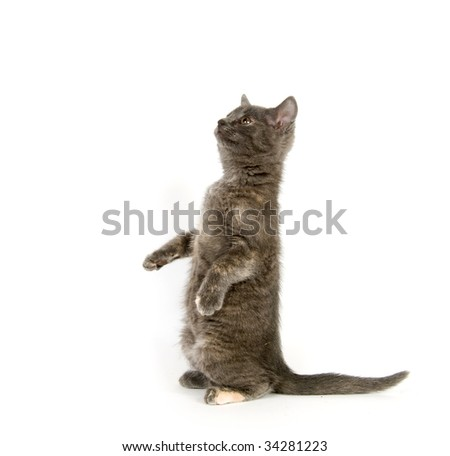 Gray kitten begging for a treat and sitting on its hind legs with white background - stock photo