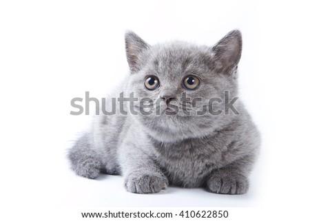 Gray kitten British cat lies (isolated on white) - stock photo