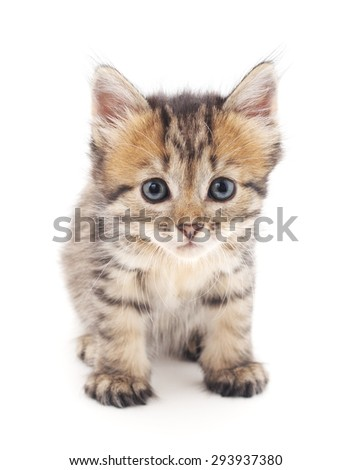 Gray kitten isolated on a white background.