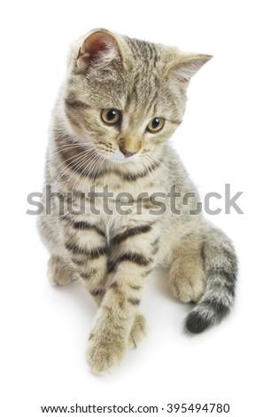Gray kitten isolated on white background - stock photo