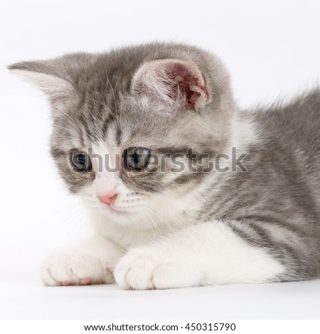Gray kitten on a white background getting ready to jump. Portrait of the Scottish cat.