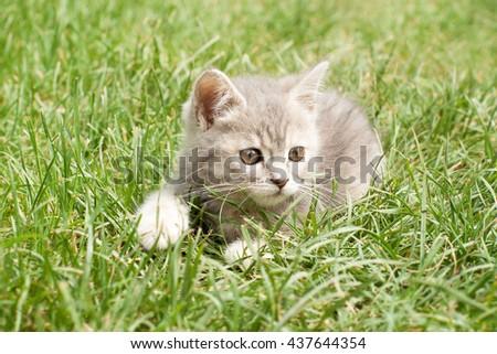 gray kitten on the grass - stock photo