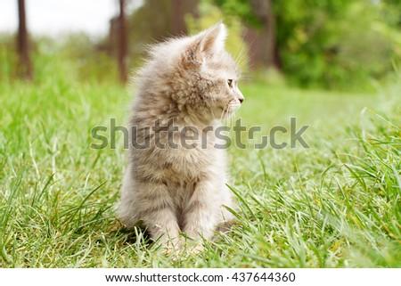 gray kitten on the green grass - stock photo