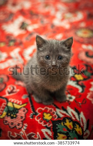 Gray kitten on the red couch