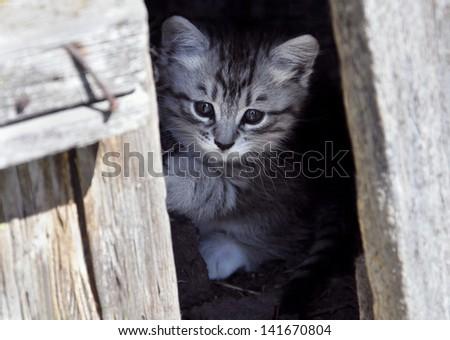 gray kitten peeking out from behind the door - stock photo