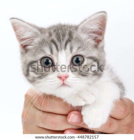 Gray kitten sitting on his hands and looks directly. Portrait of the Scottish cat.