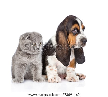 Gray kitten sitting with basset hound puppy. isolated on white background