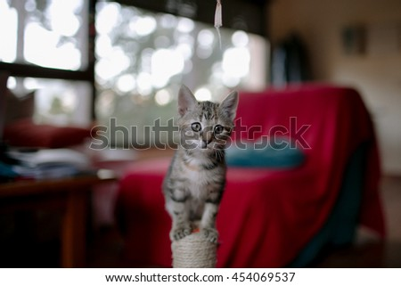 Gray kitten, small beautiful cat. Funny pet, cute little kitten.