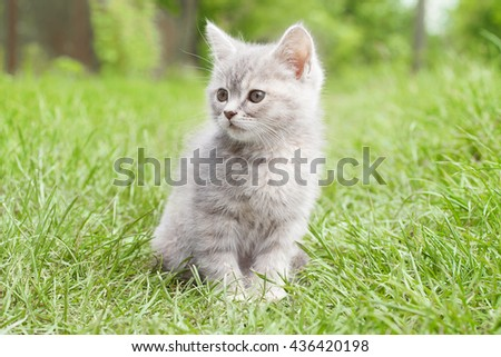 gray kitten with gray eyes - stock photo