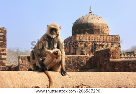 Gray langur (Semnopithecus dussumieri) with a baby sitting at Ranthambore Fort, Rajasthan, India - stock photo