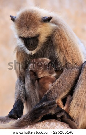 Gray langur with a baby sitting at the temple, Pushkar, Rajasthan, India