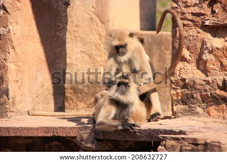 Gray langurs (Semnopithecus dussumieri) grooming at Ranthambore Fort, Rajasthan, India