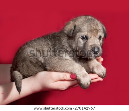 Gray little puppy sitting on hand on red background