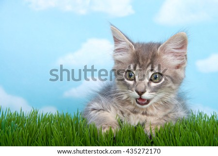 gray long haired tabby kitten laying in long grass, mouth open as if talking, blue background with white clouds. - stock photo