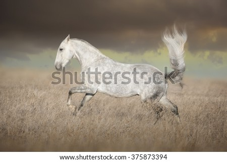Gray Lusitanian horse run on the field in the evening